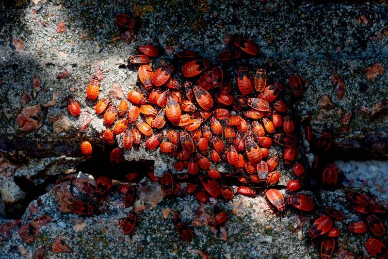 许多红色纵火犯顶视图  免版税库存照片