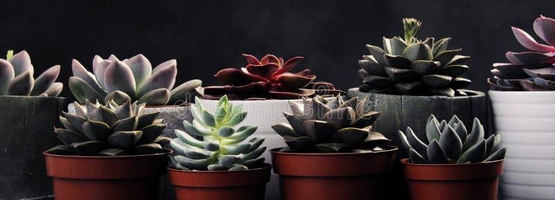 许多罐,白色陶瓷,灰色和具体与植物多汁植物红色淡紫色和绿色 站立连续,形式 库存照片