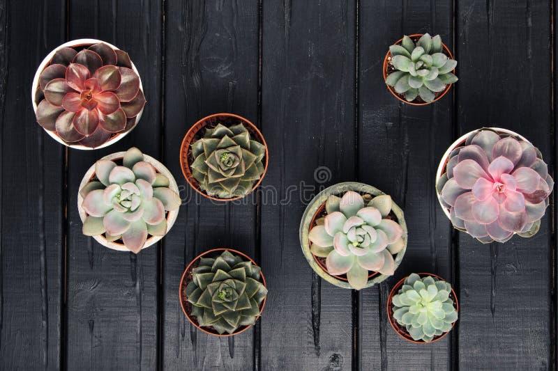 许多罐,白色陶瓷,灰色和具体与植物多汁植物红色淡紫色和绿色 站立连续,形式 库存图片