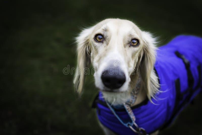 调查照相机的美丽的saluki狗 免版税库存照片