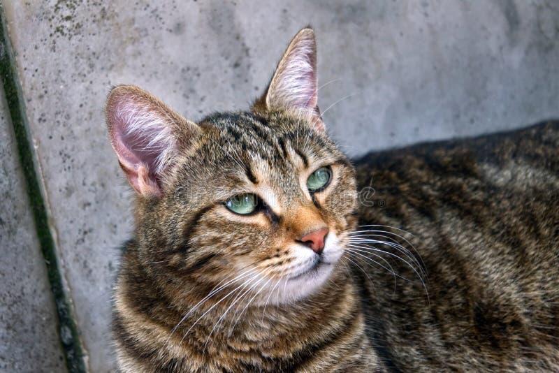 调查距离的绿眼的猫 免版税库存照片