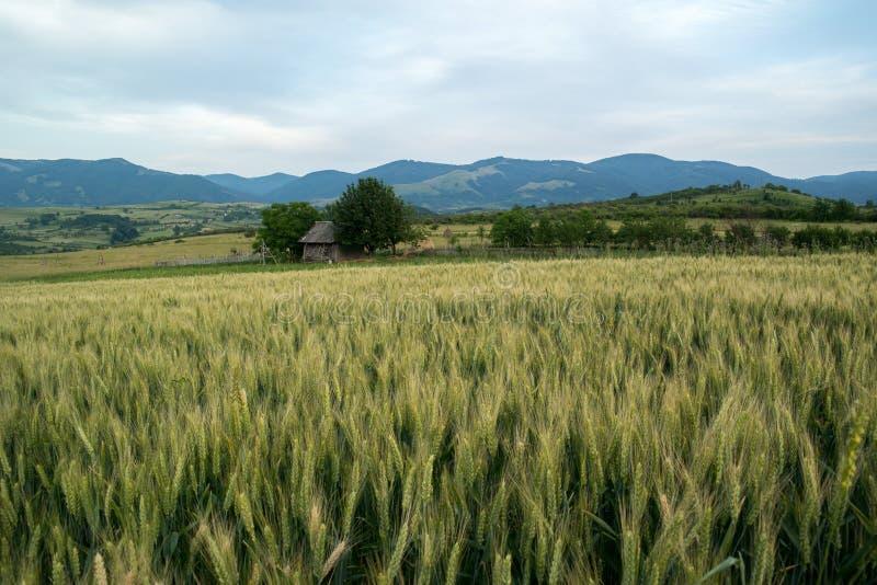 调遣绿色麦子 免版税库存图片