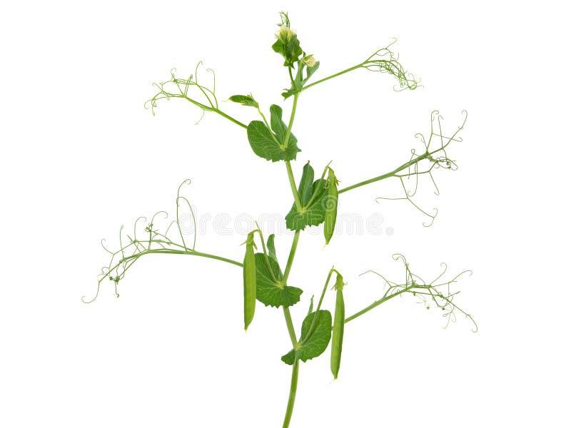 豌豆植物,Pisum Sativum,与花和荚 免版税库存照片