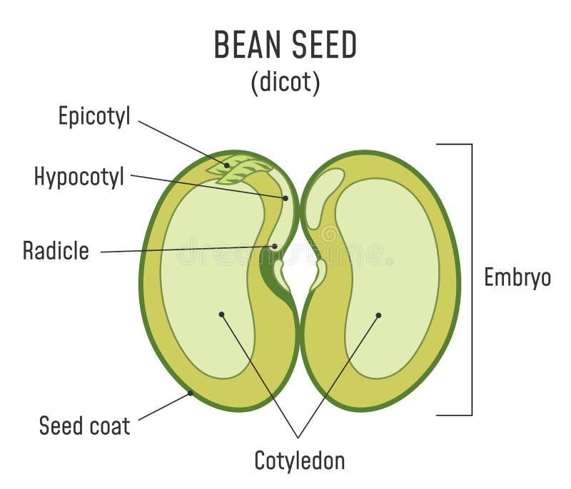 豆种子结构Dicot 库存例证