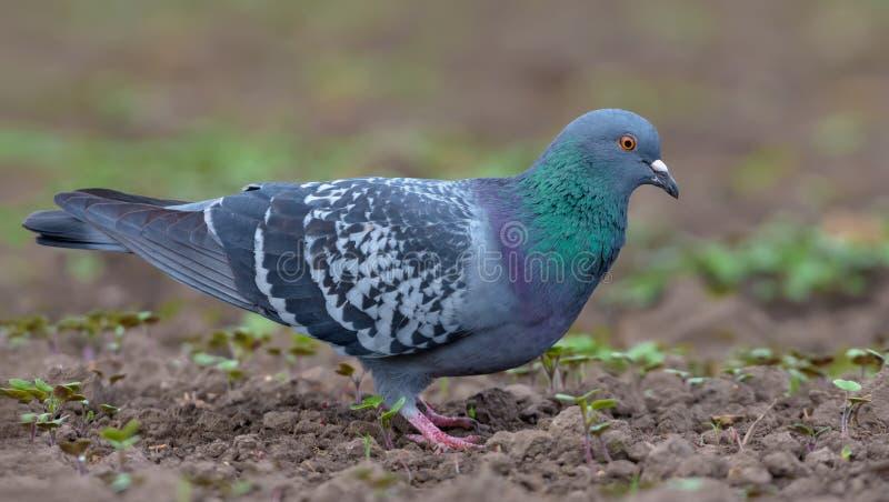 走在与棕色土壤的光秃的领域地面的鸽子在查寻食物和种子 免版税图库摄影
