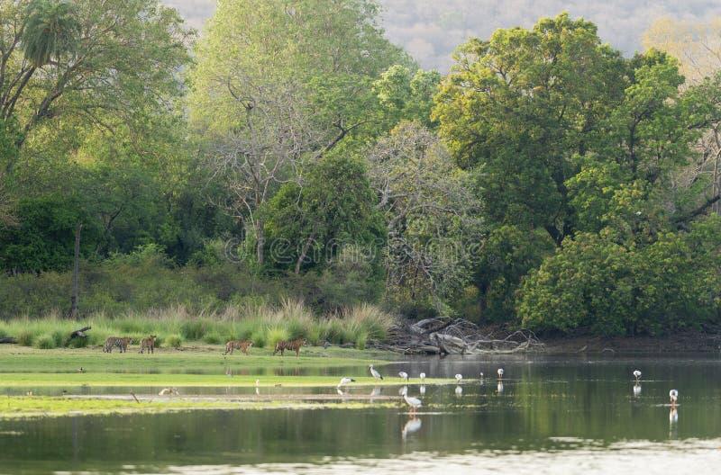 走在Rajbaug地区的四只老虎在Ranthambhore国立公园 免版税库存图片