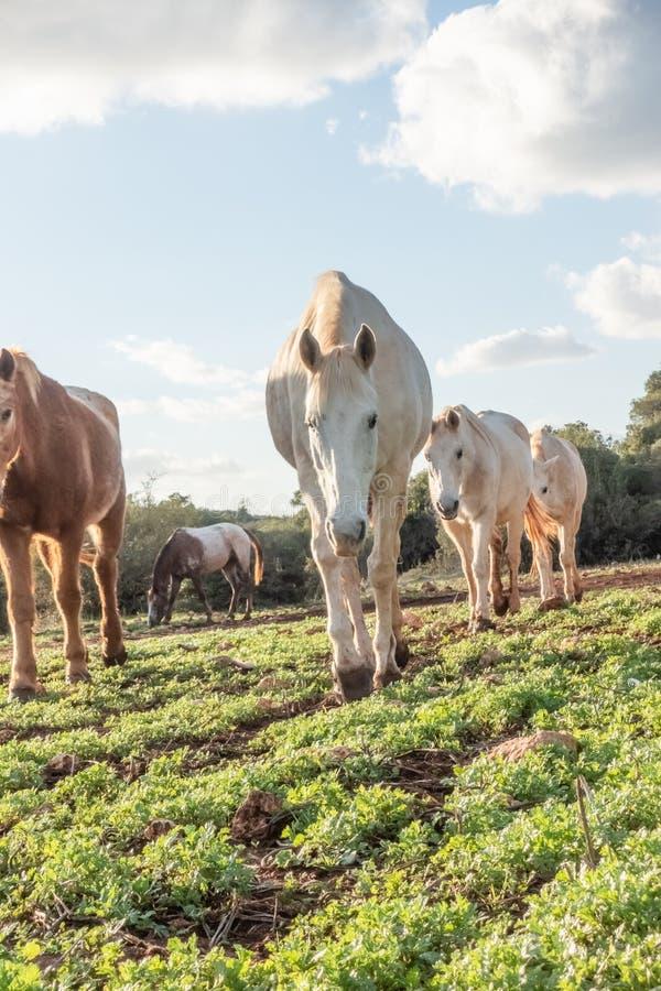 走的马在草甸 库存照片