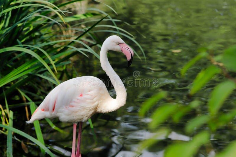 趟过在河的玫瑰色色的火鸟waterbird 免版税库存照片