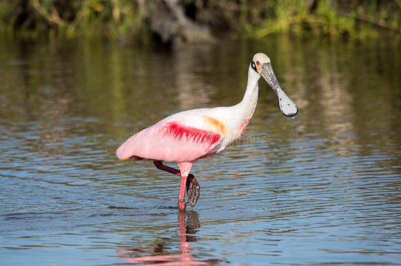 趟过在沿海水域的粉红琵鹭 免版税库存图片