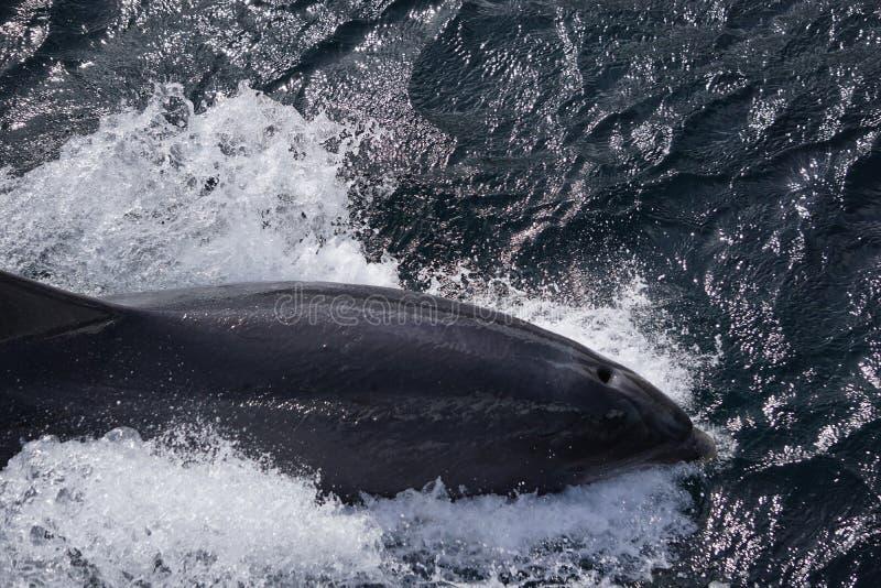 跳跃的海豚在海洋 免版税图库摄影