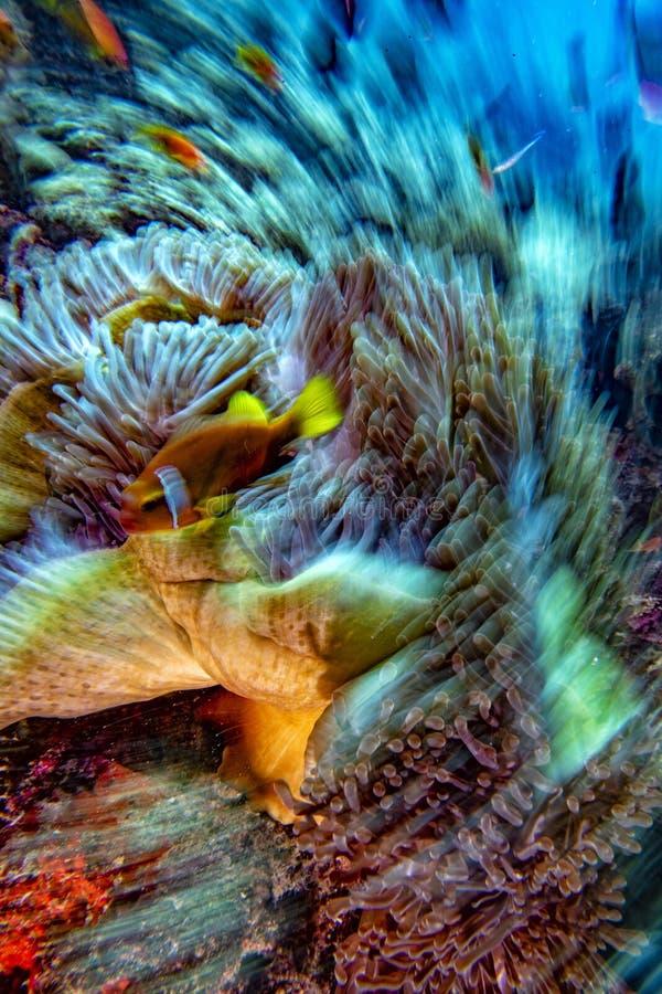 转弯移动作用在红色银莲花属里面的小丑鱼在Malduve 免版税库存照片