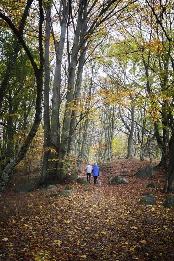 远足在山毛榉森林里的森林 库存图片