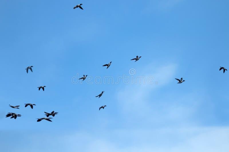 迅速地飞行的鸭子 图库摄影