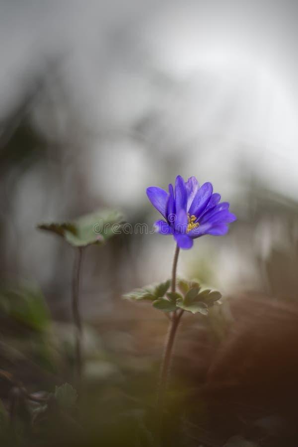 进行下去葡萄酒透镜的东方蓝色银莲花属 库存照片