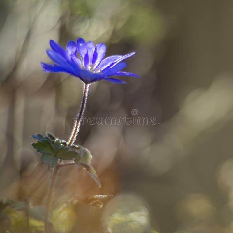 进行下去葡萄酒透镜的东方蓝色银莲花属 免版税图库摄影