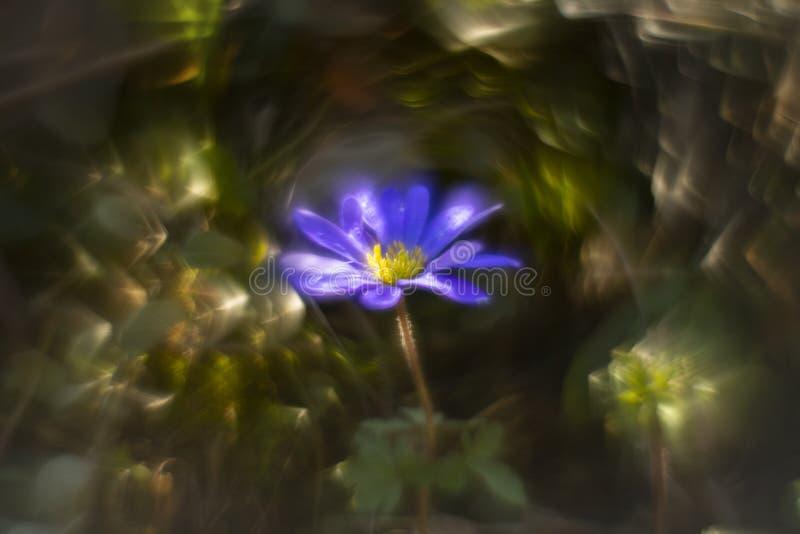 进行下去葡萄酒透镜的东方蓝色银莲花属 免版税库存照片
