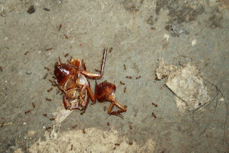 蟑螂尸体,围拢由蚂蚁,使用作为食物 免版税库存照片