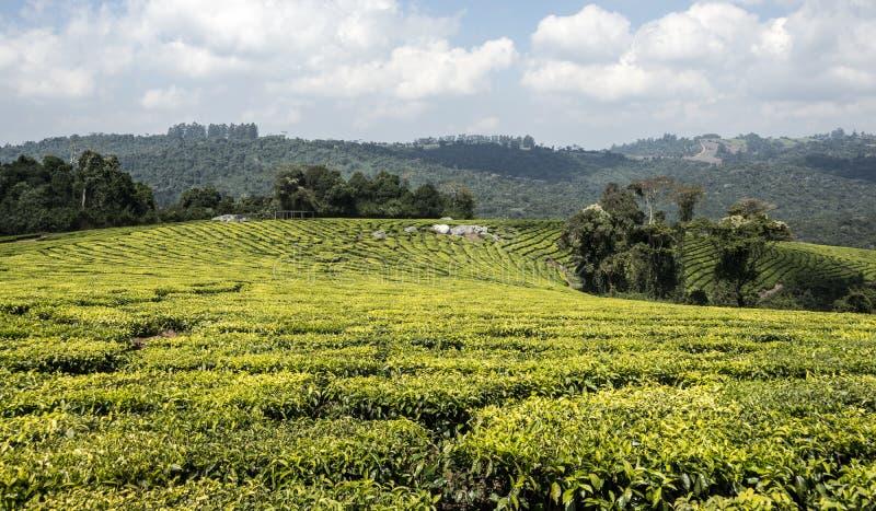 茶园在坦桑尼亚 库存照片