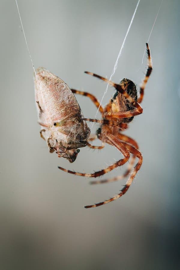 蜘蛛吃着被困住的臭虫 免版税库存图片