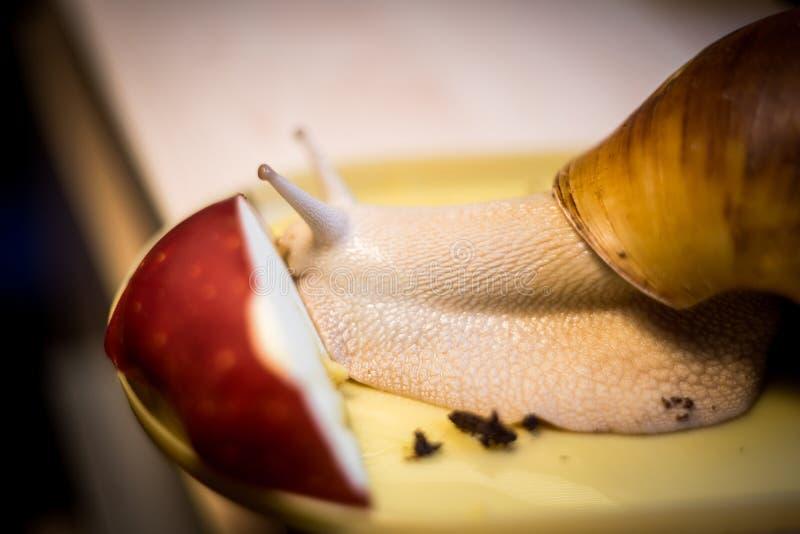 蜗牛吃着苹果 免版税图库摄影