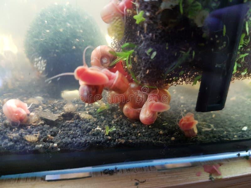 蜗牛淡水水族馆 库存照片