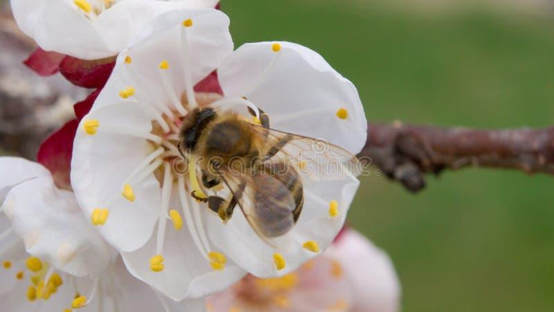 蜂在春天授粉杏子开花 库存照片