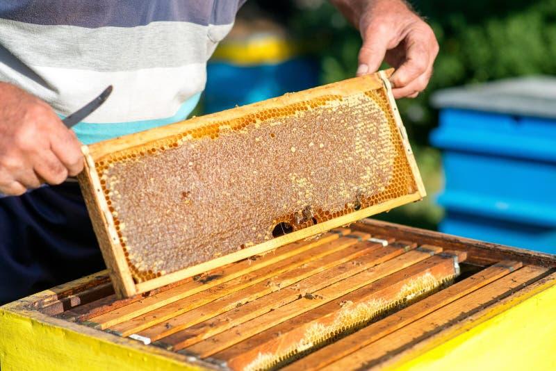 蜂农的手从蜂房拔出与蜂窝的一个木制框架 收集蜂蜜 养蜂业概念 免版税库存图片