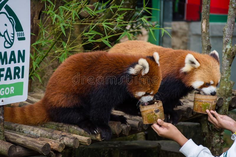 茂物,印度尼西亚- 2018年12月22日:从中国特别地被带来从茂物徒步旅行队公园的两红熊猫享用 库存图片
