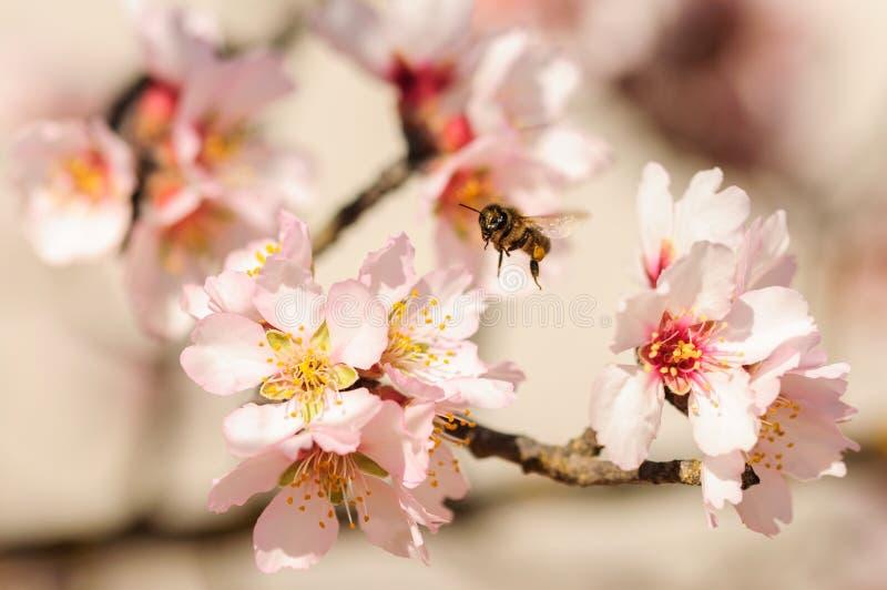 蜂蜜在杏仁花,蜂授粉的杏仁开花的蜜蜂飞行 库存图片