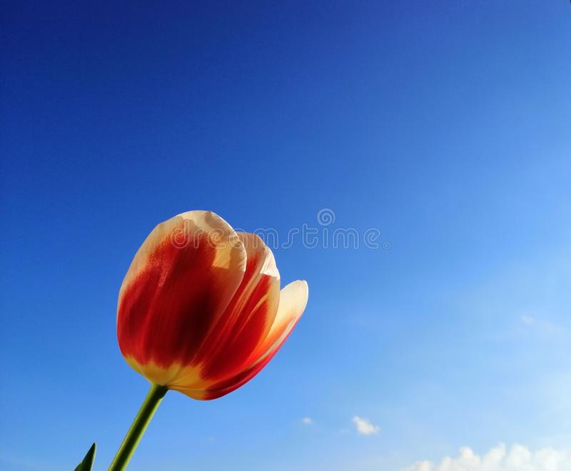 花室外红色春天郁金香 库存图片