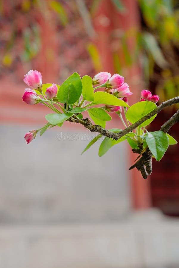 花的红色芽在一个分支的在春天有被弄脏的古老建筑学外部背景 免版税库存图片
