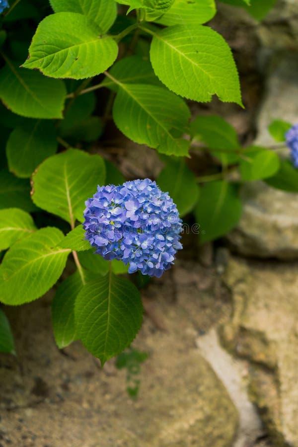 ÈŠ± ½ é™ живого голубого ç  ƒèŠ±ã€  ç ¡ ¹ ç Macrophylla гортензии « стоковое изображение