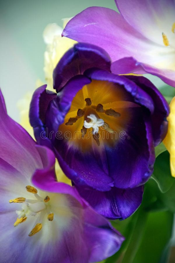 芽和瓣o郁金香 令人惊讶的有生命的植物颜色和树荫  库存图片