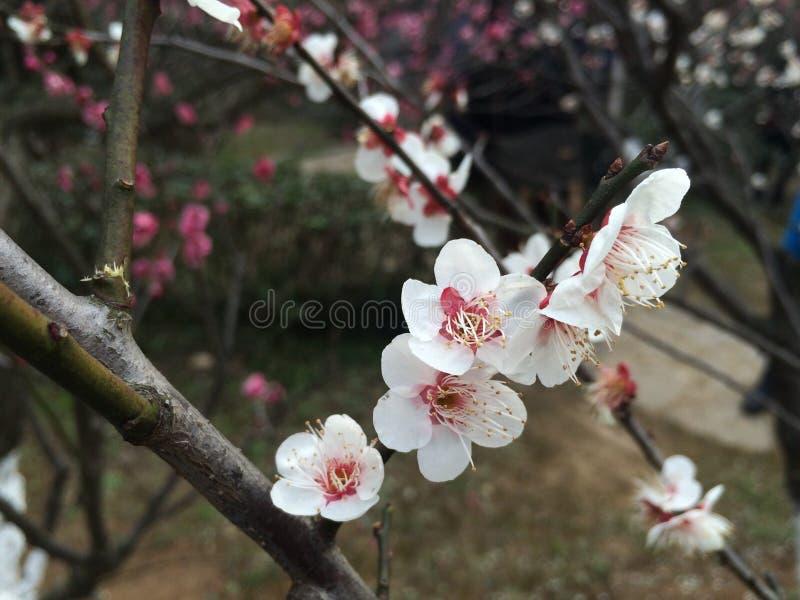 花 del fiore bianco della molla del 花 del æ¢ di Šæ¢ del è del wintersweet……… fotografie stock libere da diritti