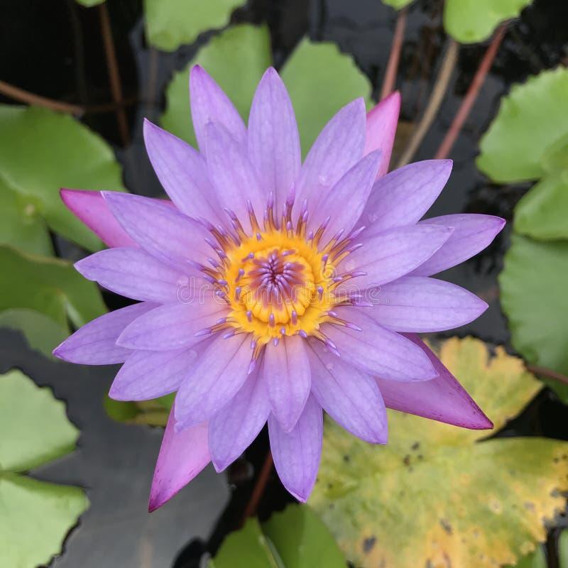 莲花紫色 免版税库存图片