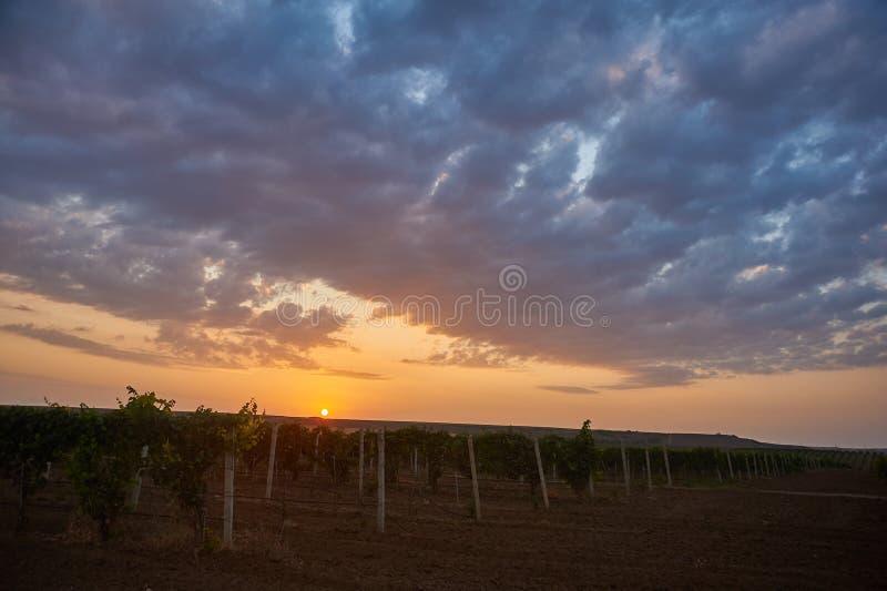 葡萄园日落风景 葡萄与黄色天空和剧烈的云彩的农业背景 免版税库存图片