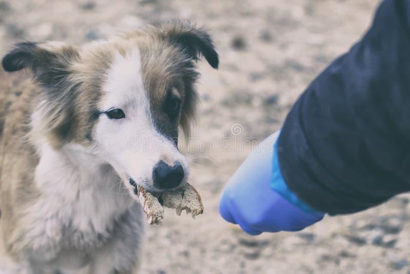 蓝色手套的志愿者哺养狗面包 那里定调子 免版税库存图片