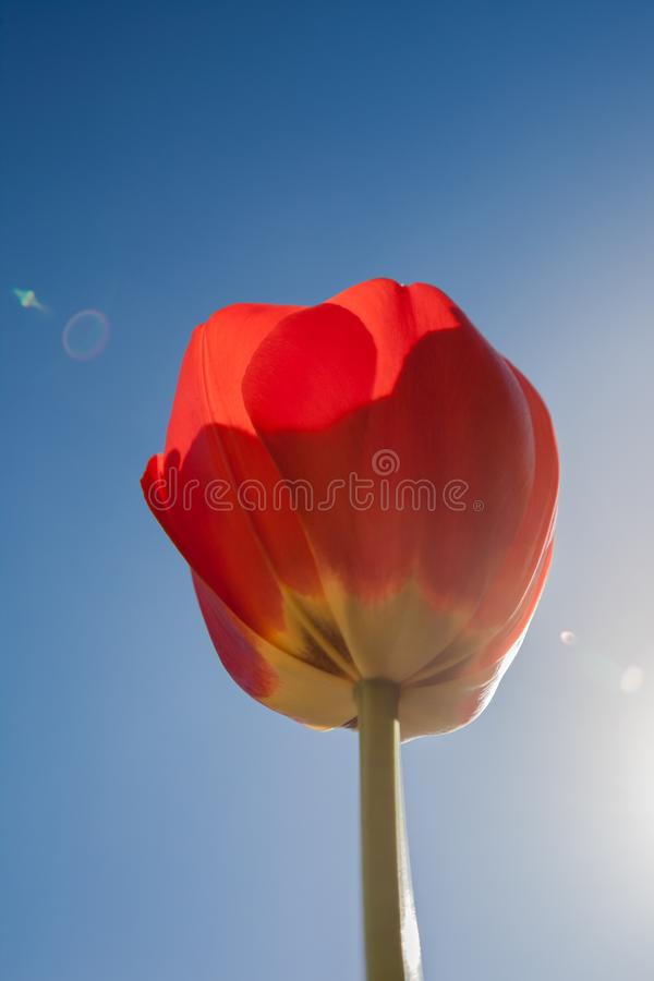 蓝色红色天空郁金香 免版税库存图片