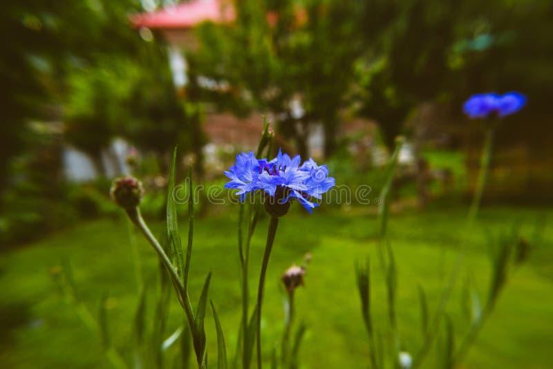 蓝色花有模糊的背景 库存照片