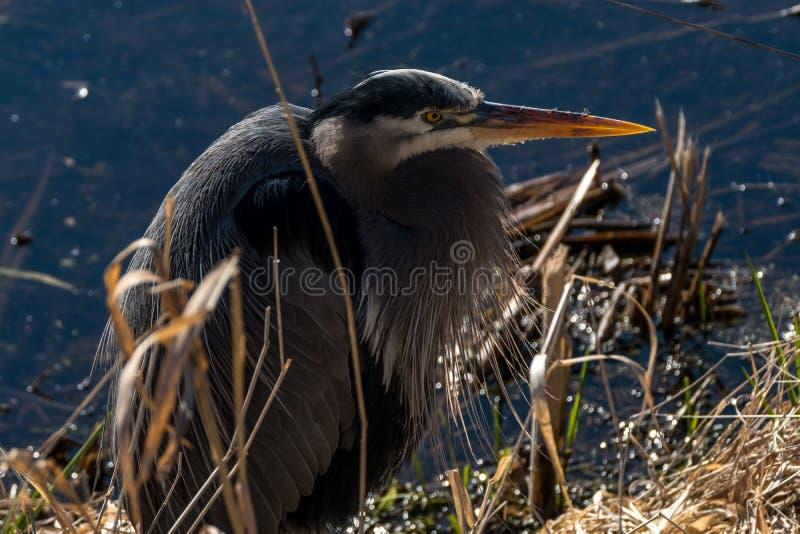 蓝色苍鹭鸟 图库摄影
