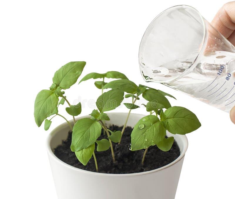 蓬蒿罗勒属basilicum、伟大的蓬蒿或者圣徒约瑟夫麦芽酒在花盆 哺育和浇灌年轻婴孩植物的手 免版税库存照片
