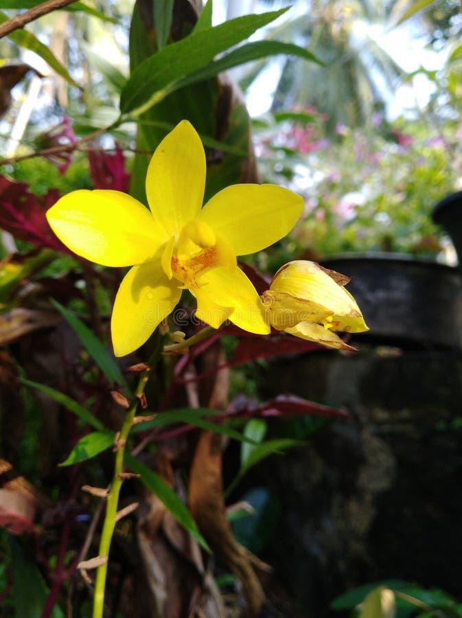 自然兰花花在斯里兰卡 免版税库存图片