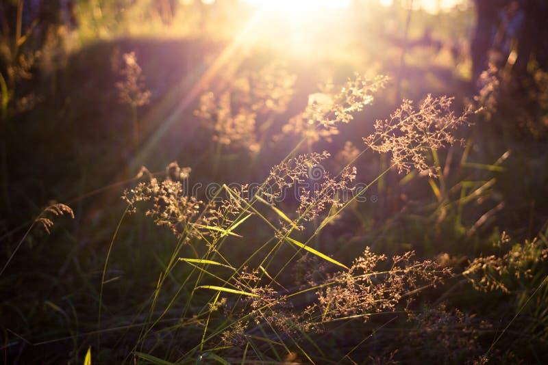 自然草/草叶的关闭 在领域的夏天宏观场面在太阳光芒 免版税库存图片