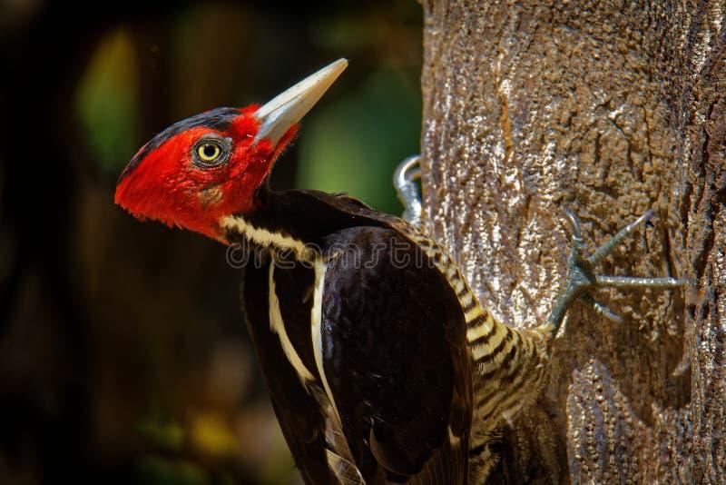 苍白开帐单的啄木鸟-帝啄木鸟guatemalensis是从北的一只常驻繁殖的鸟的一只非常大啄木鸟 库存照片