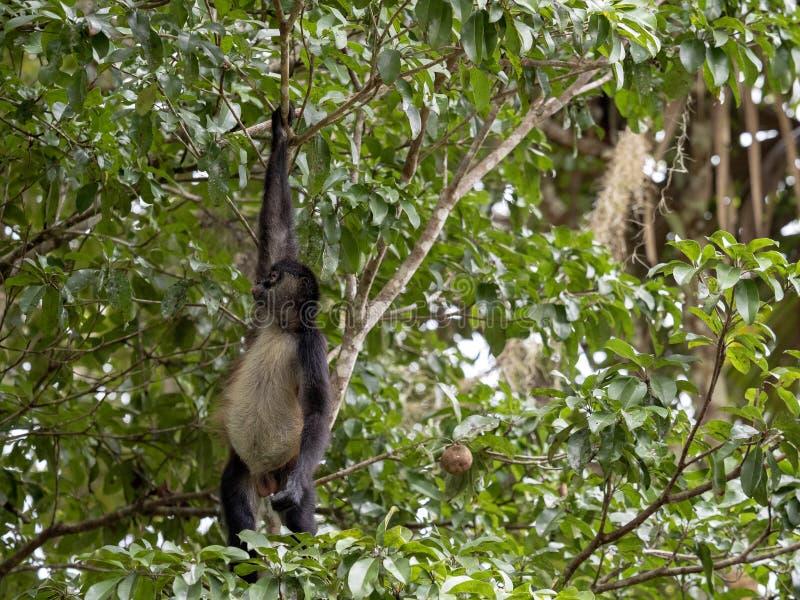 蛛猴属,蛛猴属geoffroyi,选择在雨林,危地马拉的仅成熟果子 免版税图库摄影