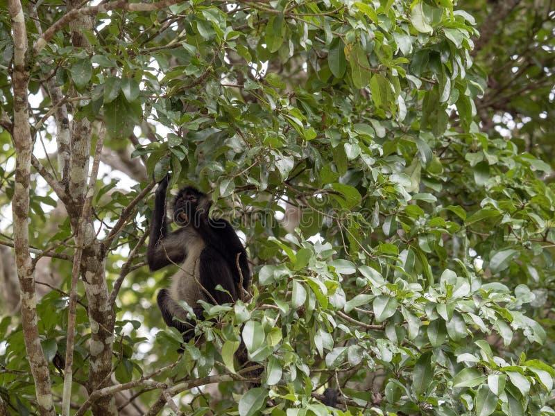 蛛猴属,蛛猴属geoffroyi,选择在雨林,危地马拉的仅成熟果子 库存图片