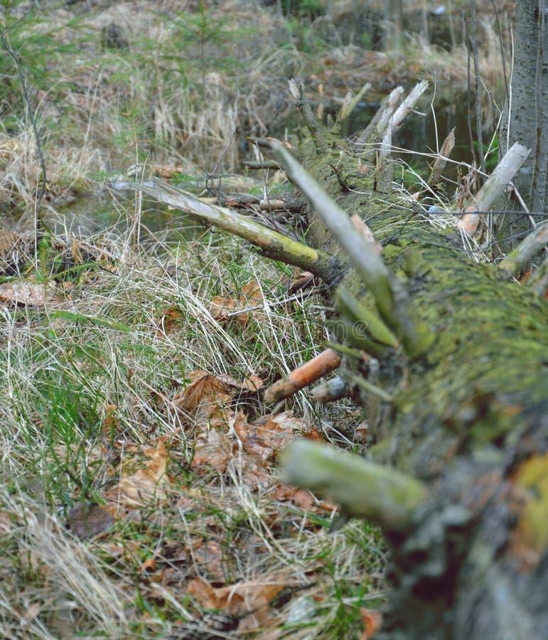 老残破的松树在北森林里 库存照片