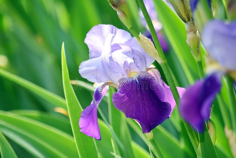 虹膜紫罗兰开花储蓄照片细节特写镜头 库存照片