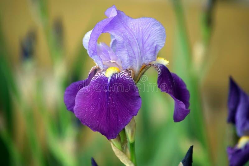 虹膜紫罗兰开花储蓄照片细节特写镜头 免版税库存照片