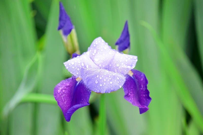 虹膜紫罗兰色花家庭菜园股票Pfoto细节特写镜头 库存图片